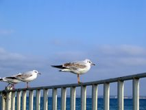 Seagull. S Stock Photography