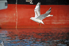 Seagull. A white seagull on red background Royalty Free Stock Photos