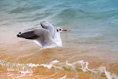 Seagull. Swimming in the sea royalty free stock image