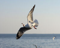 Seagull. Fly to catch food Royalty Free Stock Photos