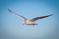 Seagull. Flying on blue sky Stock Photo