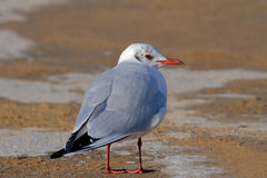 Seagull. A Black Headed Seagull Standing on the Ground royalty free stock image
