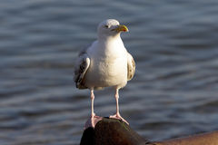 Seagull. Perched on a post, Brighton beach Royalty Free Stock Image