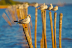Seagull. Stand Seagull Evening in Bankpu Thailand Stock Photos