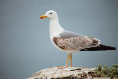 Free Seagull Stock Photo - 29574010