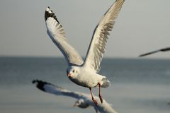Seagull (3) Royalty Free Stock Photography