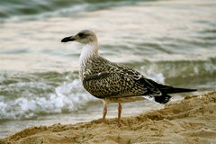 Free Seagull Stock Image - 3010571