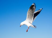 Seagull. An Australian seagull flying with blue sky background Stock Photos