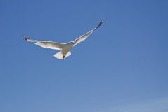 Seagull. An adult Herring Seagull in flight, back lit Royalty Free Stock Images