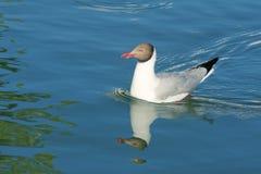 Seagull obraz royalty free