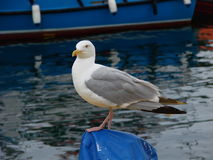 Seagull. A seagull in Mallaig harbour, Scotland Royalty Free Stock Photos
