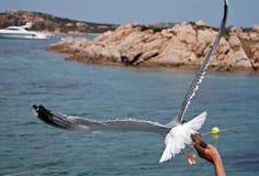 Seagull.3 Arkivfoton