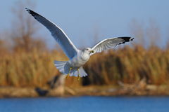 Seagull. Is flying, hunting for food stock photography