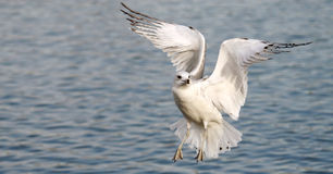 Seagull. The seagull is so beautiful stock photo