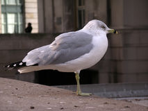 Seagull. By the Toronto Union Station. Shallow depth of field.  Very clear subject Stock Image