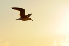 Free Seagull Stock Photography - 39826182