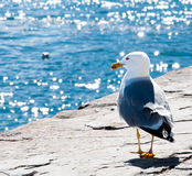 Seagull Fotografering för Bildbyråer