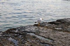 Seagull Zdjęcia Stock