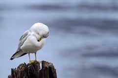 Seagull Στοκ Εικόνες