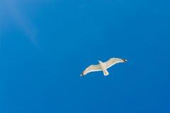Seagull Στοκ Φωτογραφία