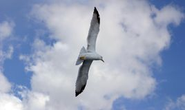 Seagull. Flying Royalty Free Stock Photography