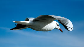 Free Seagull Royalty Free Stock Photo - 4468125
