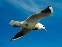 Seagull, Royalty Free Stock Photography