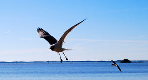 Free Seagull Royalty Free Stock Photos - 4556208
