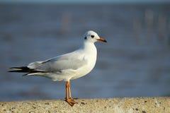 Seagull 4 Obraz Stock