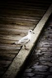 Seagull. Image of a seagull on the side of a cobblestone road Royalty Free Stock Photos