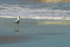 Seagull. Walking on beach at sunset Royalty Free Stock Photography