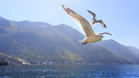 Free Seagull Stock Photography - 47118622
