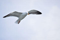 A Seagull. A single seagull flying royalty free stock photo