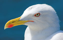 Free Seagull Stock Photography - 4793722