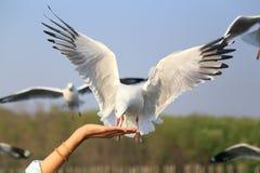 Free Seagull Royalty Free Stock Photo - 50849355