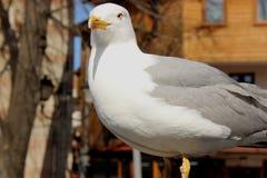 Seagull Royaltyfria Bilder