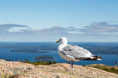 Seagull που κοιτάζει έξω στη θάλασσα Στοκ φωτογραφία με δικαίωμα ελεύθερης χρήσης