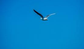 Seagull κατά την πτήση Στοκ Φωτογραφία