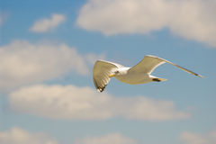 Free Seagull Stock Photography - 5496292