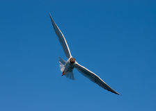 Seagull. Against a blue sky Royalty Free Stock Photography