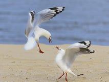 Seagull 01 arkivfoto