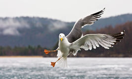 The seagull. The Baikal Lake seagull sky flying Royalty Free Stock Images