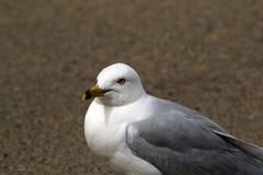 Seagull Στοκ φωτογραφία με δικαίωμα ελεύθερης χρήσης