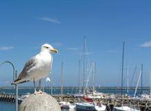 Seagull Arkivfoto