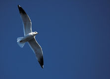 Seagull. Gliding seagull with it's wings spread Royalty Free Stock Photos
