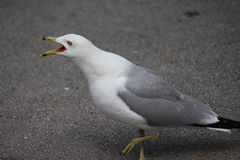 Seagull Obrazy Royalty Free