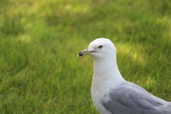 Seagull Arkivbilder