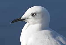Seagull. Medium Close Up of a Southern Ocean Seagull Royalty Free Stock Images