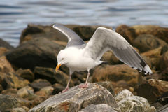 Free Seagull Royalty Free Stock Photography - 5739027