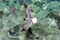 Seagull. Flying above beautiful clear water in the Bahamas royalty free stock photos